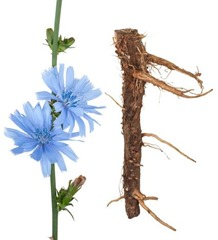 Medicinal plant: Chicory